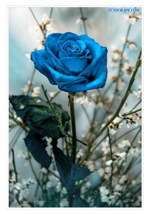 Rose biru