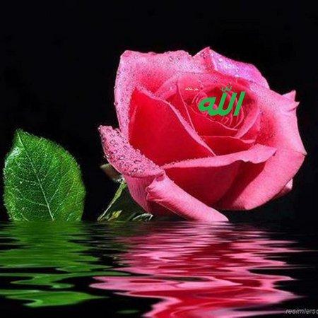 Allah rose pink