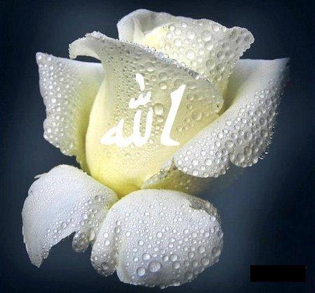 Allah rose putih 3