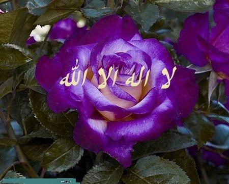 Lailahaileloh ungu bunga