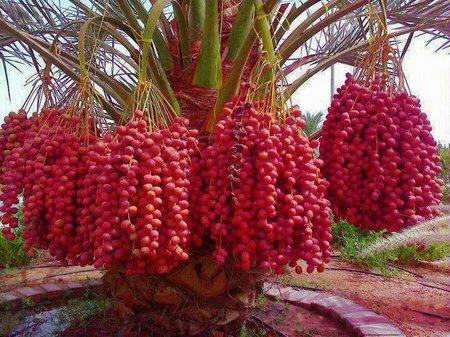 pohon kurma buah merah